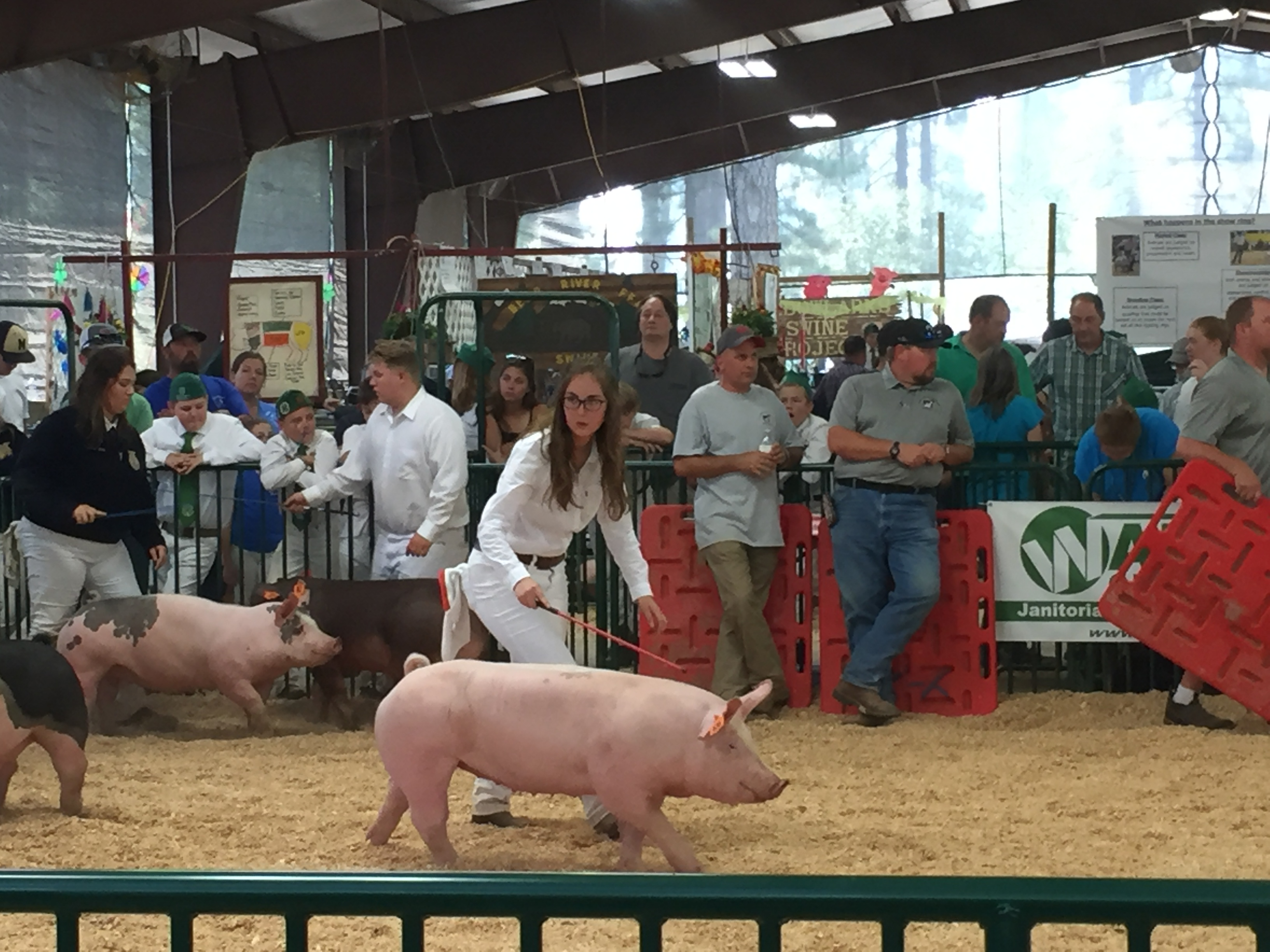 On Raising Show Pigs
